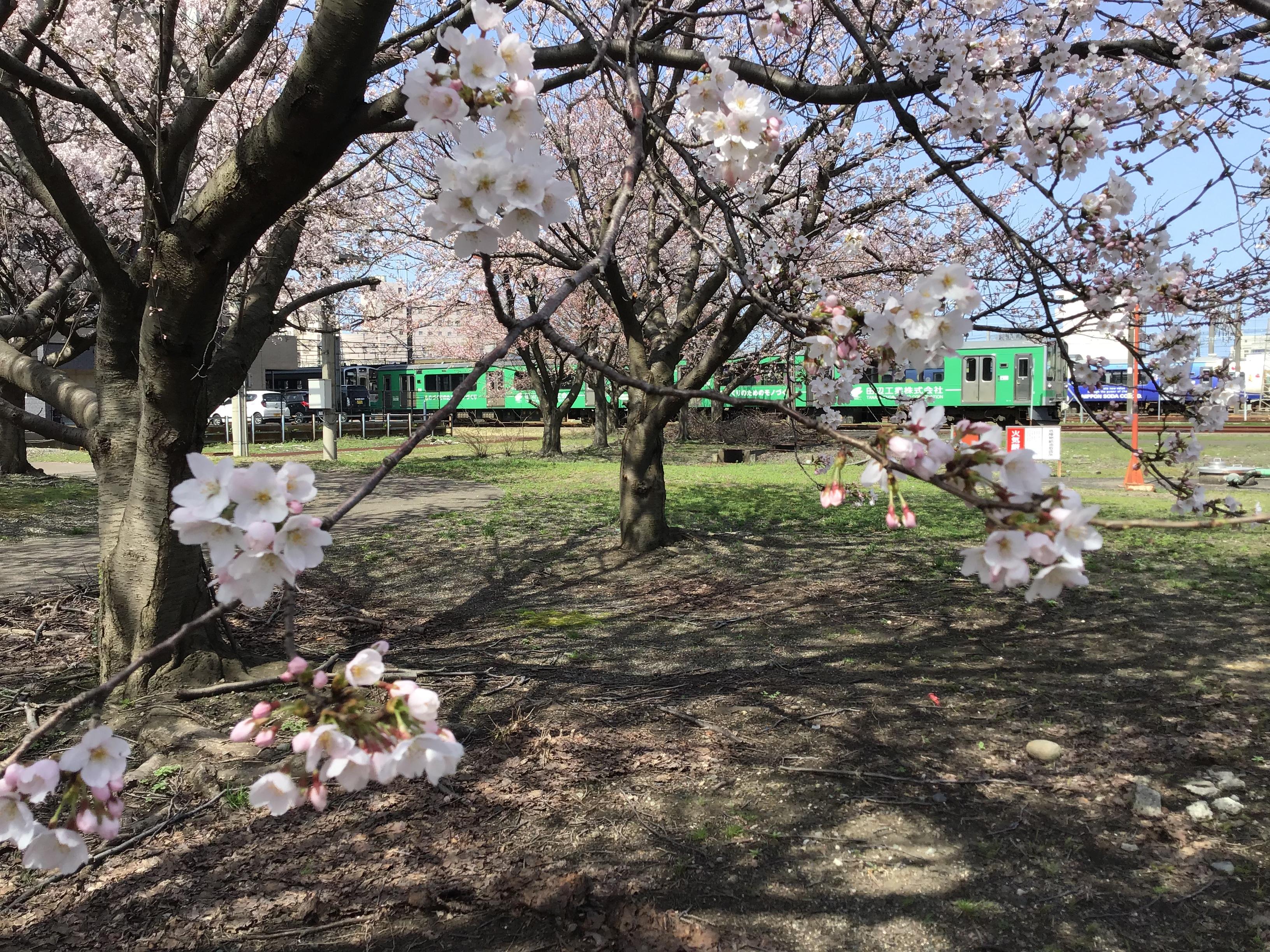 直江津も桜が咲きました。