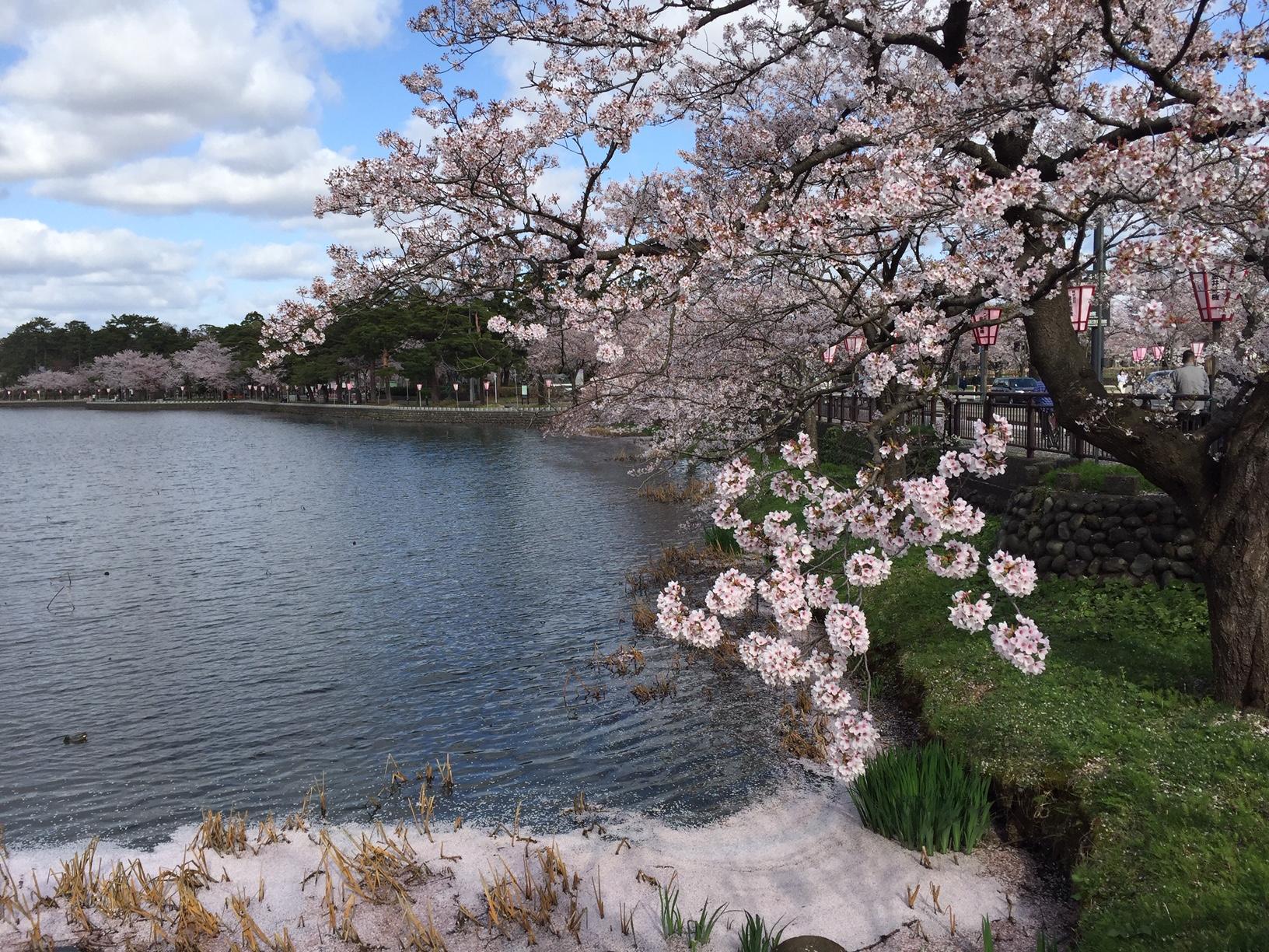 2度目の春 高田の桜